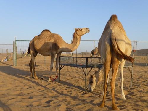 ドバイ・デザートサファリツアーのラクダ牧場