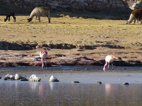 ウユニ塩湖のトゥヌパ山麓のフラミンゴ