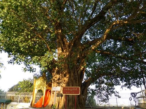 シュエダゴン・パゴダの菩提樹