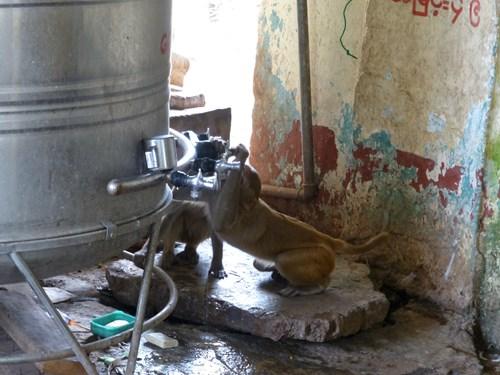 ポッパ山のタウン・カラッで蛇口をひねって水を飲む猿