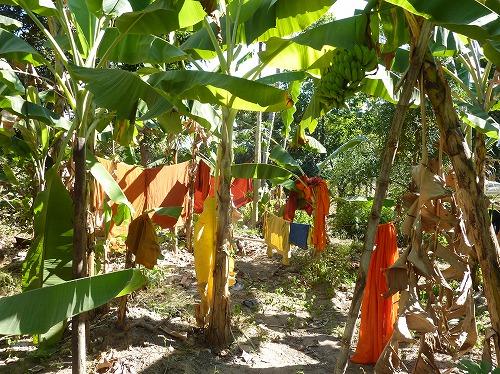 カンボジア・ロリュオス遺跡群のロレイにあるフルーツの木にかけられる洗濯物