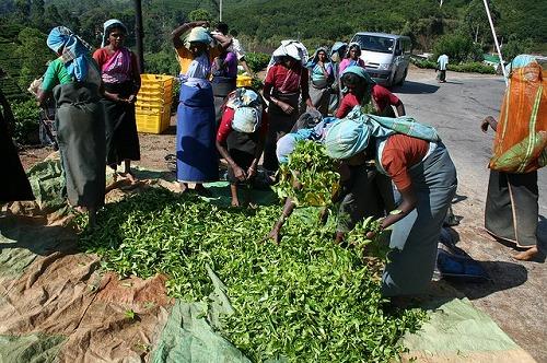 茶葉の収穫