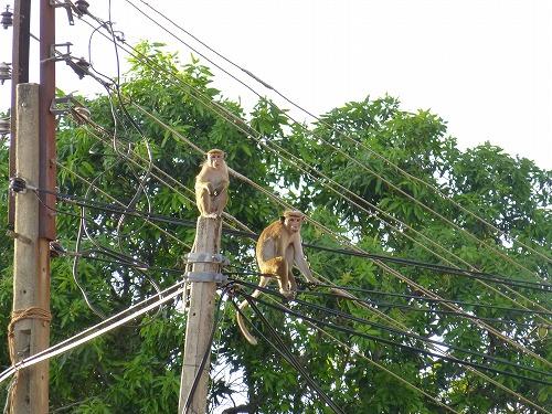 ダンブッラ石窟寺院で見かけた猿