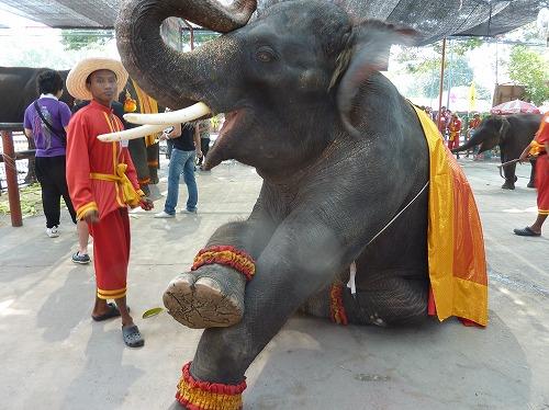 タイ・アユタヤ遺跡の象乗り体験場で芸をする象