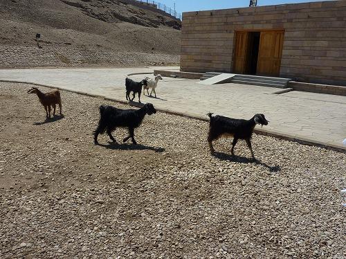 エジプトのエドフにあるホルス神殿のヤギ達