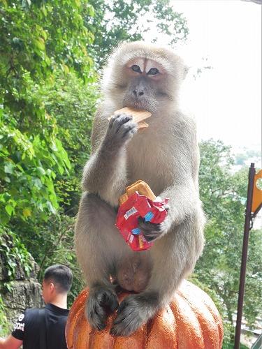 マレーシア・バトゥ洞窟への階段にいる猿(人間からクッキーを奪って食べる)