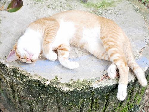 マレーシアのブルーモスク近くに住む茶トラ白猫