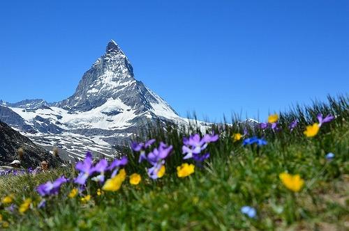 スイスのマッターホルンほとりの野花