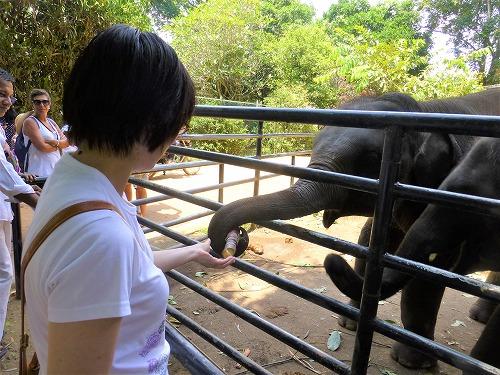 スリランカ・ピンナラワの象の孤児院 エサのサトウキビを食べる象
