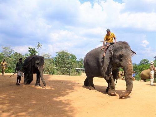 スリランカ・ピンナラワの象の孤児院 象使いにより先導される象