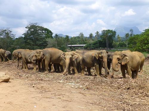 スリランカ・ピンナラワの象の孤児院 象の大群