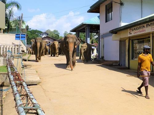 スリランカ・ピンナラワの象の孤児院 水浴びをするため川に向かう象たち