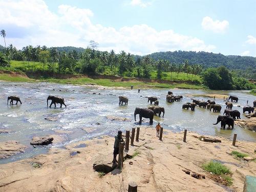 スリランカ・ピンナラワの象の孤児院 水浴びをする象たち