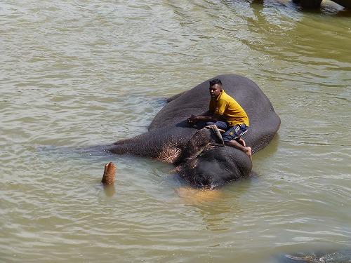 スリランカ・ピンナラワの象の孤児院 川で象の体を洗う象使い