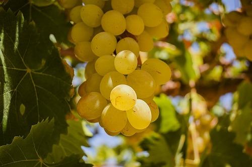 ワインの原材料となるブドウ