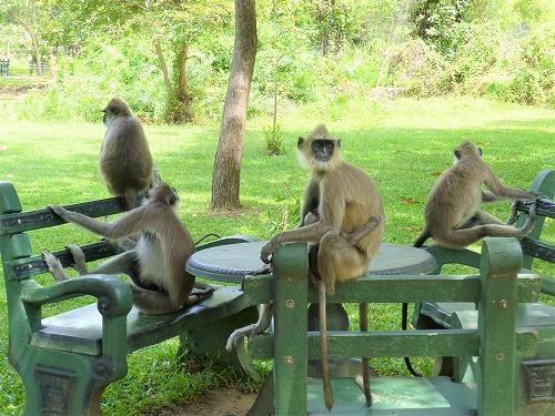 スリランカ・ポロンナルワに住む猿の大群