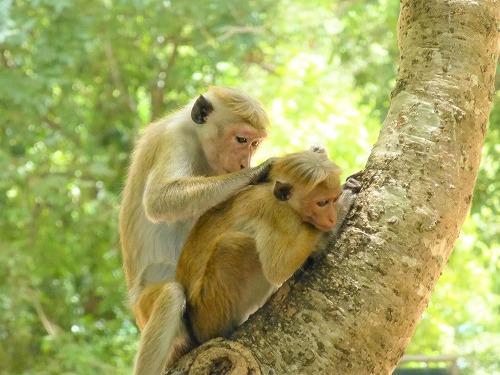 スリランカ・ポロンナルワに住む毛づくろいする猿の親子