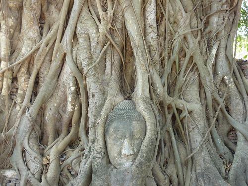 タイ・アユタヤ遺跡のワット・プラ・スィー・サンペットの菩提樹に埋まる仏頭